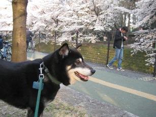 ブログ桜とゴン2
