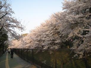 ブログ桜2