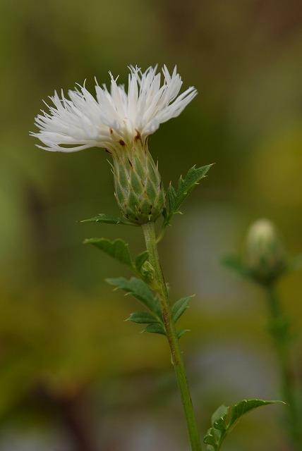 白花ヒメタムラソウ1