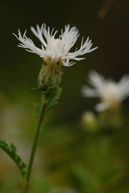 白花ヒメタムラソウ2