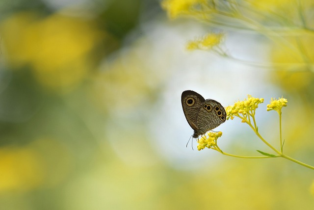 女郎花と蝶2