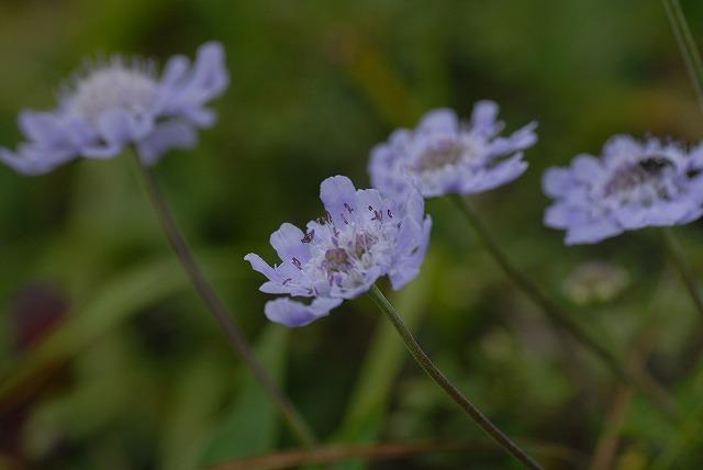マツムシ草2