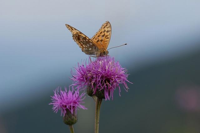 タムラソウと蝶