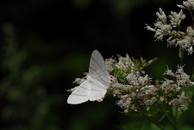 ヒヨドリ花と蛾