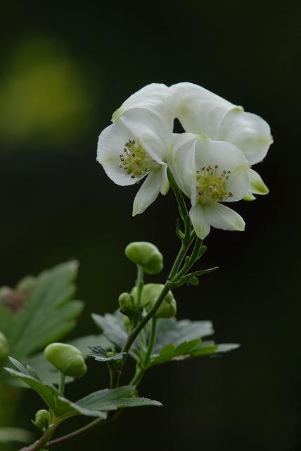 白花トリカブト2