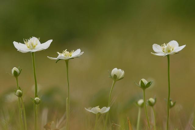 ウメバチ草3