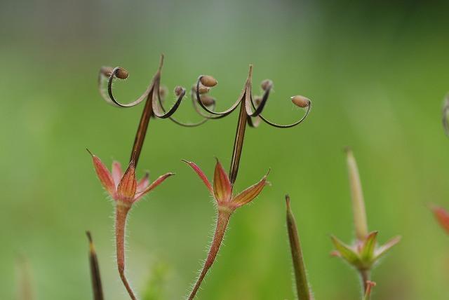 ミコシ草1