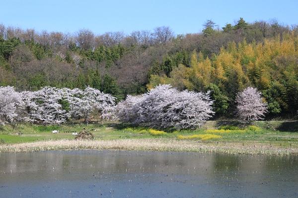 gifusakura4.jpg