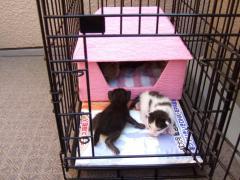 ピンクの猫ハウス 前庭で遊ぶチャコマー