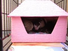 ピンクの猫ハウス 家の中でくつろぐチャコマー