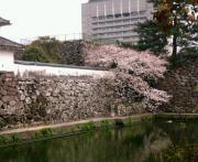 大分の桜2