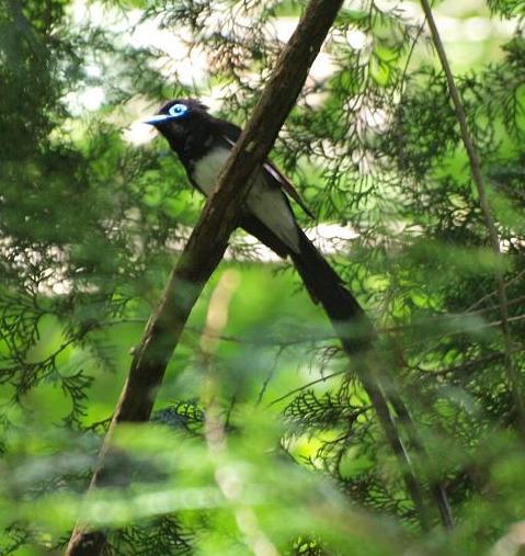 三光鳥 036