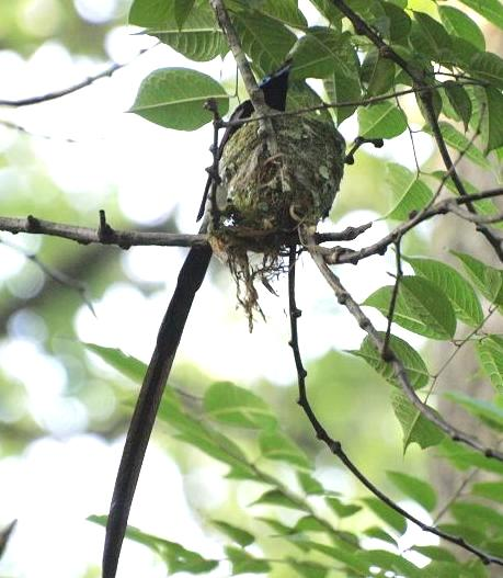 三光鳥 035