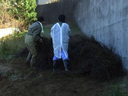 チクゴスズメノヒエ堆肥化1
