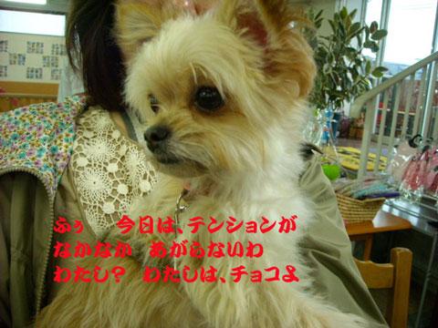 チョコミックス犬