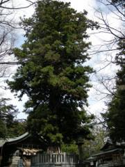 2.根入りの杉