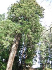 6.結びの杉
