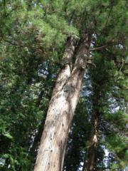 7.結びの杉