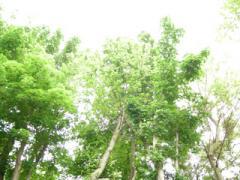 3.咬菜園跡の木