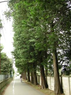 1.サワラ並木