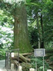 13.たこ杉