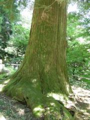 22.天狗の腰掛杉