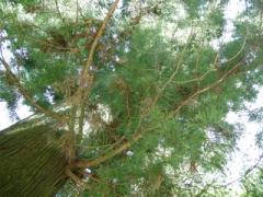 23.天狗の腰掛杉