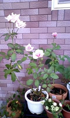 バラ 桜貝