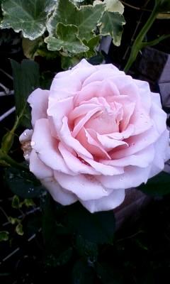 薄ピンクバラ