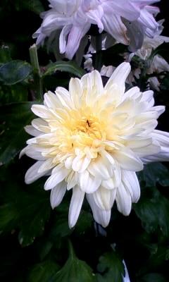 菊ダリア咲き