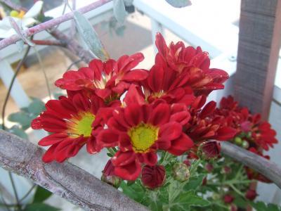 赤スプレー菊
