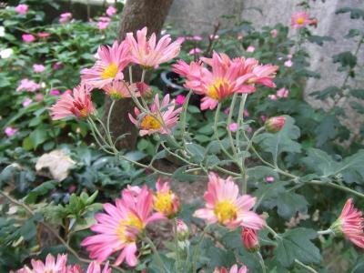 挿し木の菊