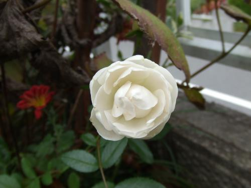 ウイットのバラ