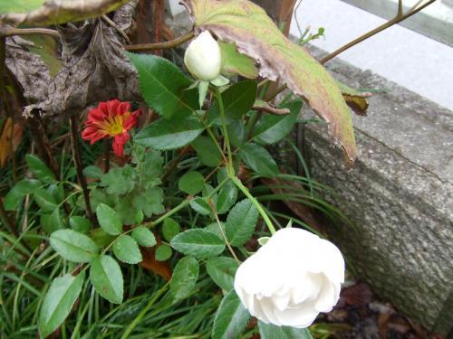 ウイットのバラ2