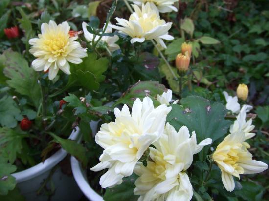 返り咲き菊さん