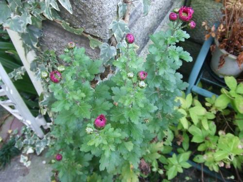 蕾の菊さん