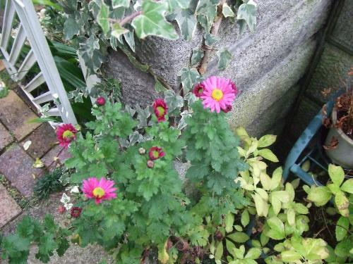 挿し木の菊さん咲いたね