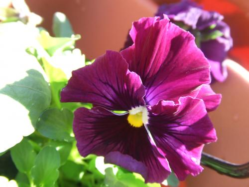 フリルのパンジー紫