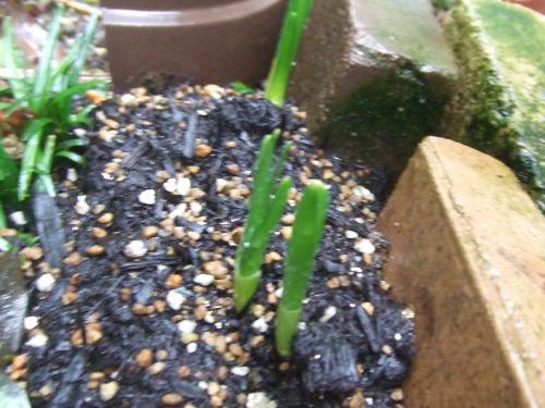 ティタティタの芽