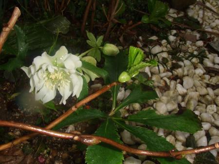 ダブルの白 地味に咲いてます~♪