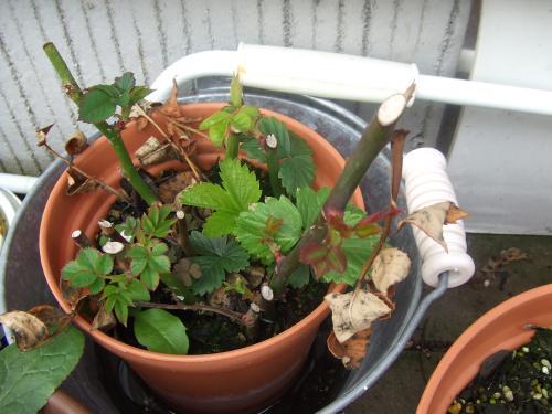 挿し木のバラ