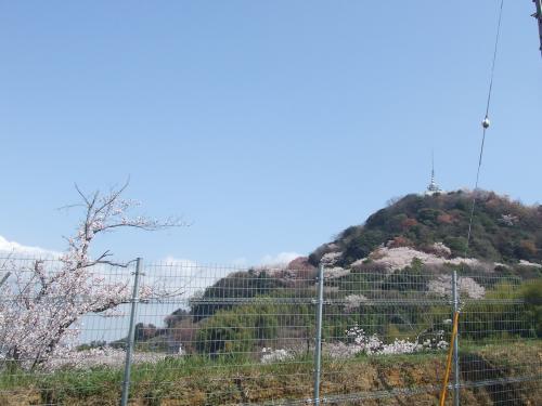 一山桜だ!!