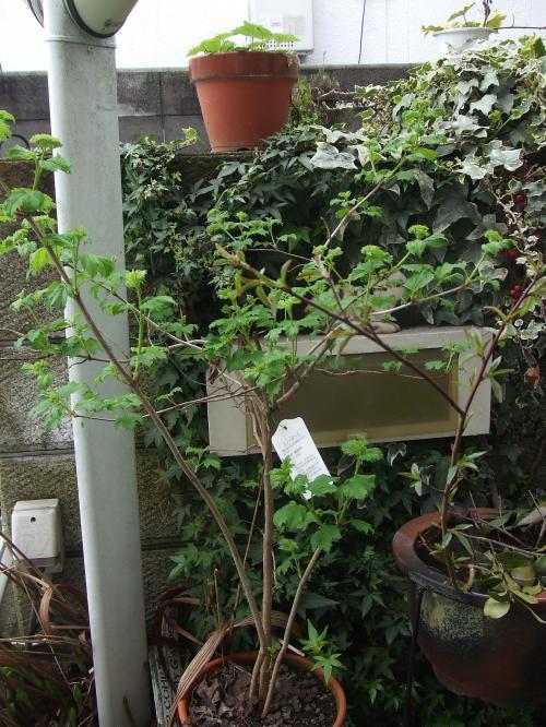 ビバーナムの鉢植え