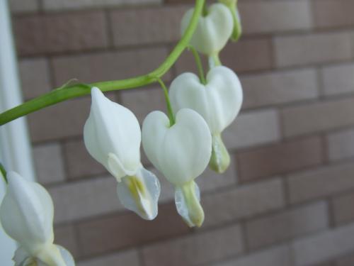 タイツリ草白花