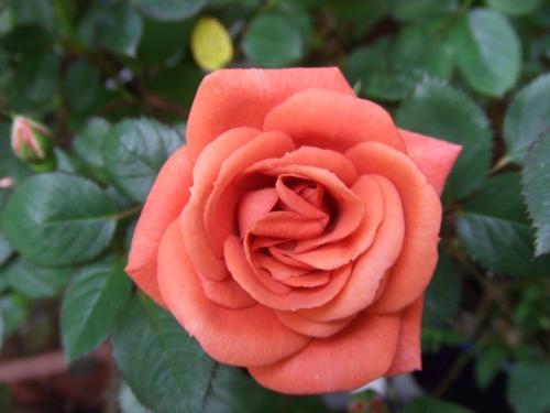 テディベアのバラ