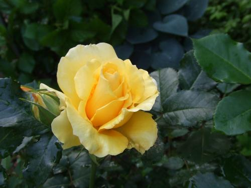 義父のバラ(^^)