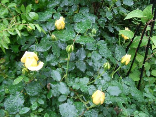 義父のバラ