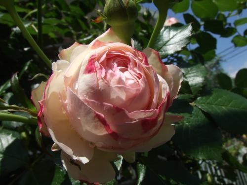 今年一番開花のロンサールさん