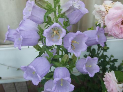 カンパニュラ薄紫