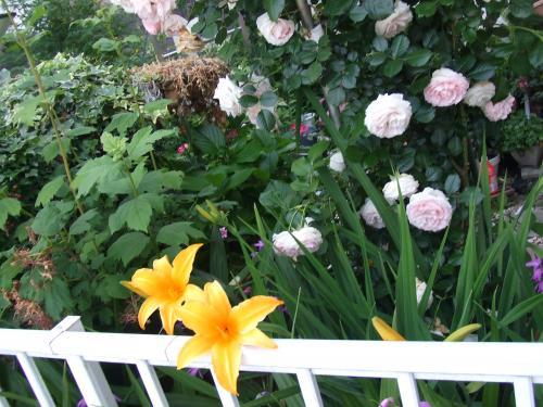 カンゾウの花